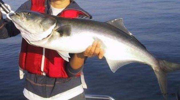 Lüfer Balığı