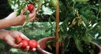 Balkonu Bahçeye Çevirin: Saksıda Domates Yetiştirmenin En Kolay Yöntemi