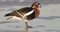 Bulgaristan'da Kış Ortası Su Kuşları Sayımı