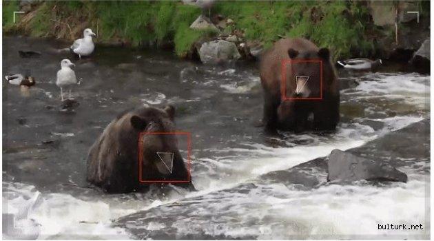 Yüz tanıma teknolojisi ayılara uyarlandı